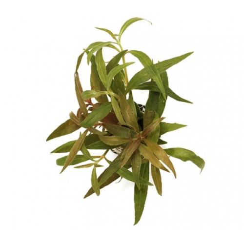 Planta Alternanthera reineckii (Splendia)