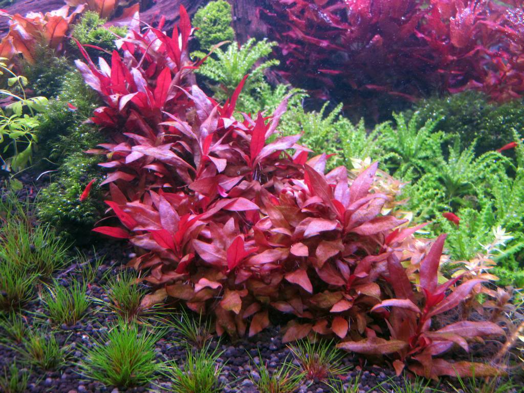 Planta Alternanthera reineckii (Variegata)