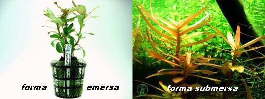 Planta Amannia gracilis