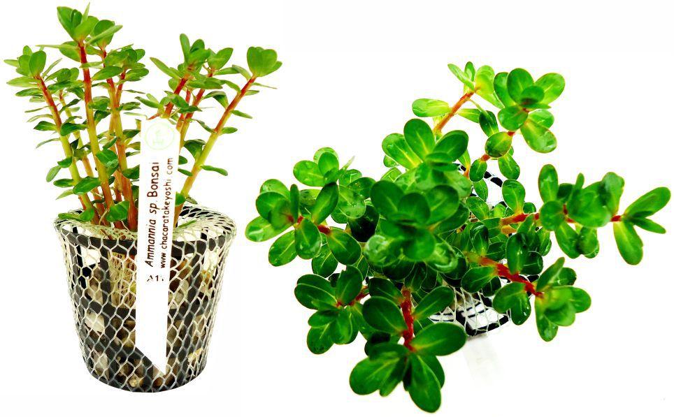 Planta Amannia sp. Bonsai