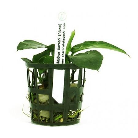 Planta Anubias barteri Nana