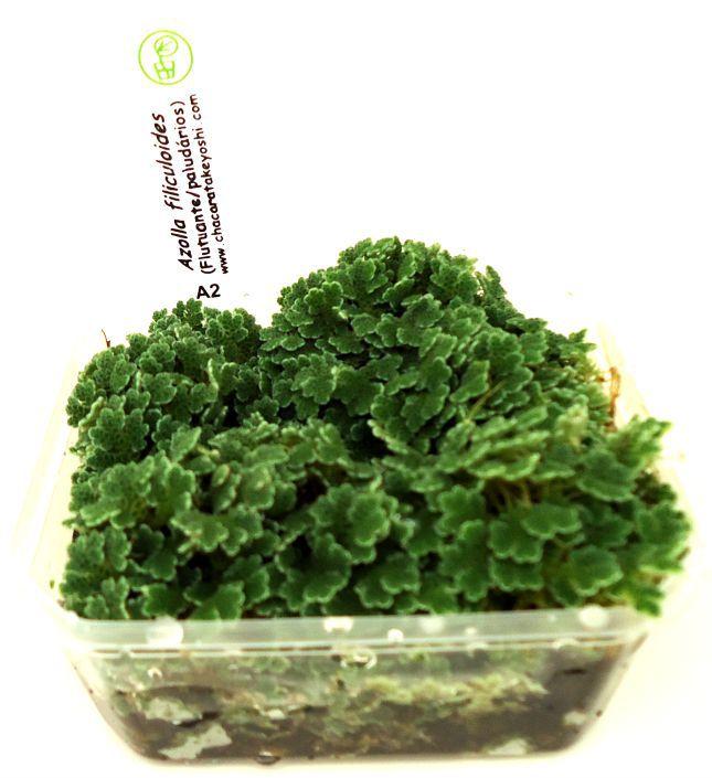 Planta Azolla filiculoides-flutuante