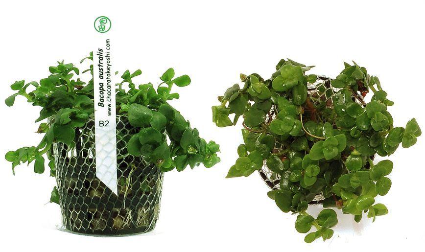 Planta Bacopa australis