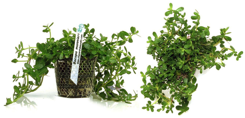 Planta Bacopa monnieri