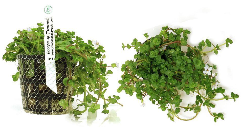 Planta Bacopa sp. (Tamarana)