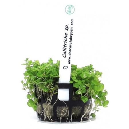Planta Callitriche sp.