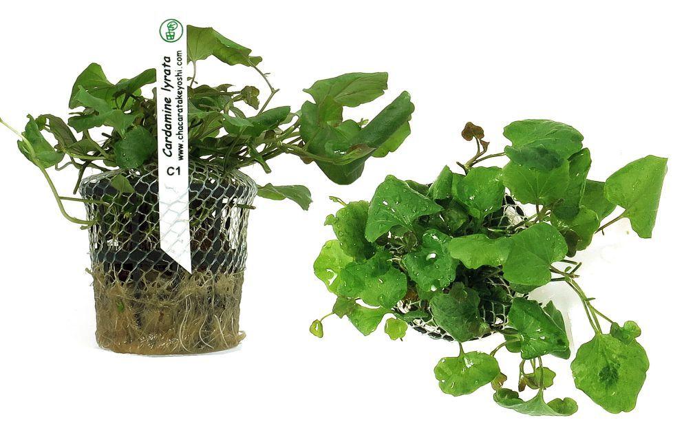 Planta Cardamine lyrata