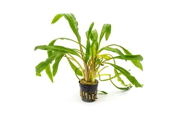 Planta Cryptocoryne albida