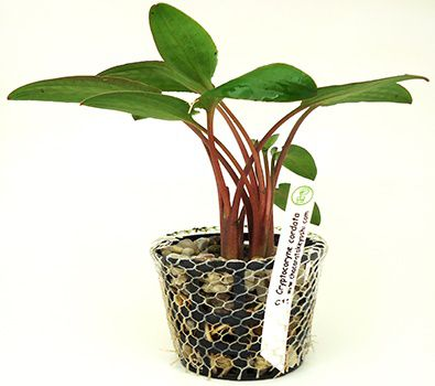 Planta Cryptocoryne cordata