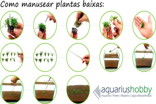 Planta Cryptocoryne parva