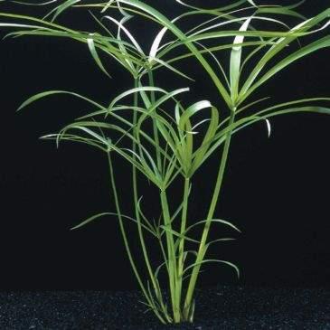 Planta Cyperus alternifolius (Sombrinha Chinesa)