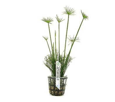 Planta Cyperus papyrus Nanus
