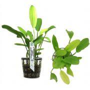 Planta Echinodorus gabrieli (Tricolor)