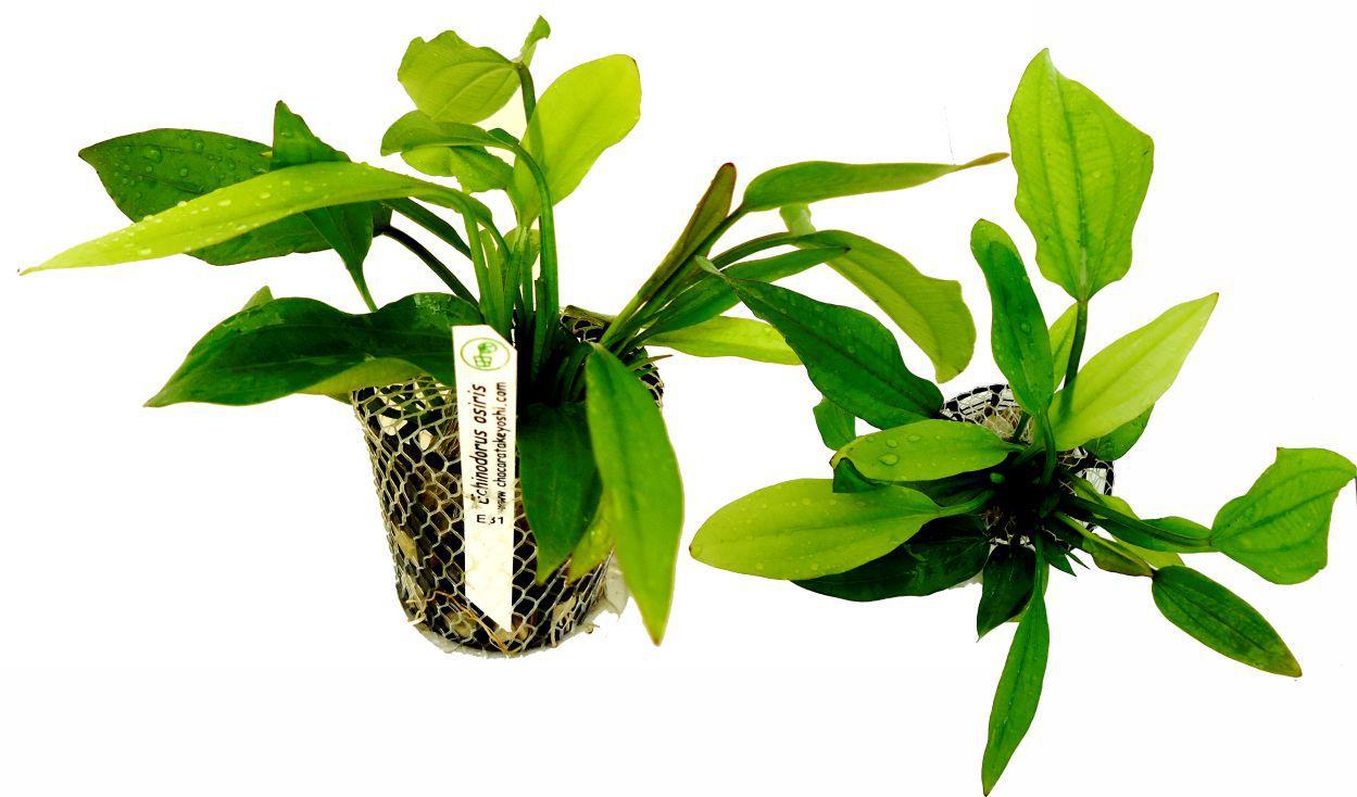 Planta Echinodorus osiris