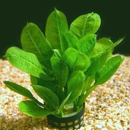 Planta Echinodorus parviflorus (Tropica)