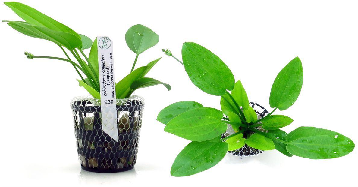Planta Echinodorus schlueteri (Leopard)