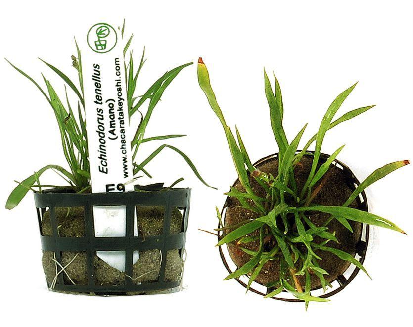 Planta Echinodorus tenellus (Amano)