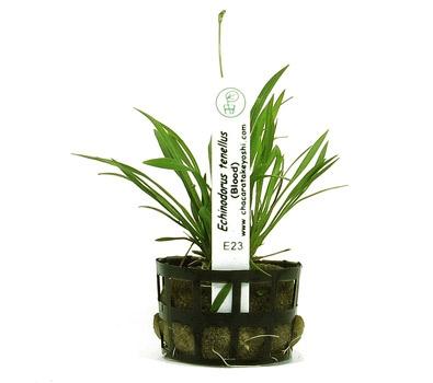 Planta Echinodorus tenellus (Blood)