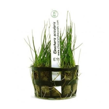 Planta Eleocharis acicularis