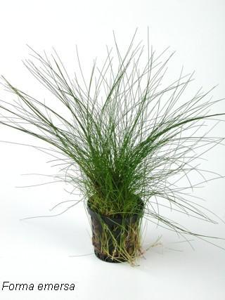 Planta Eleocharis vivipara