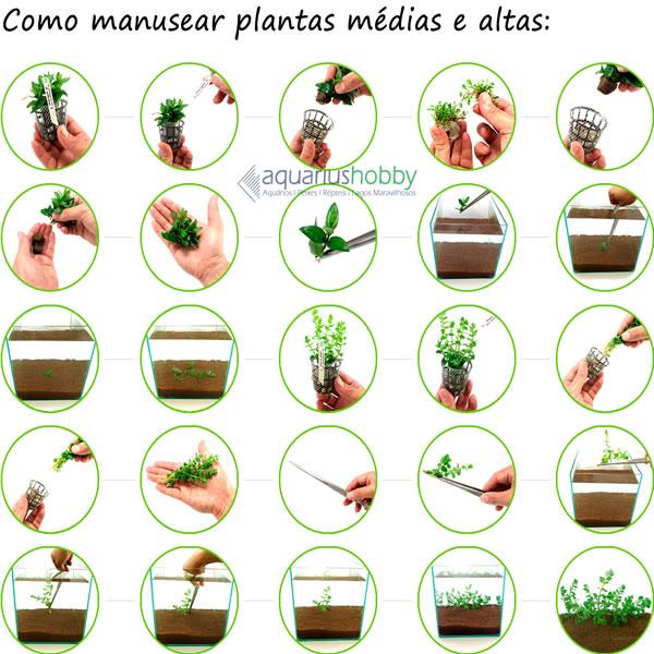 Planta Hydrocotyle leucocephala