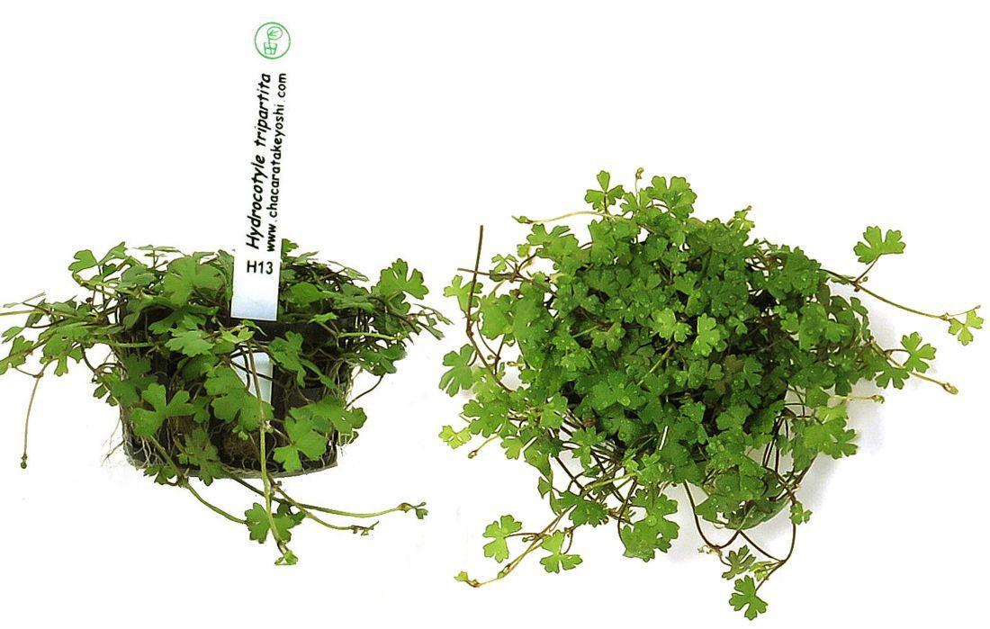Planta Hydrocotyle tripartita