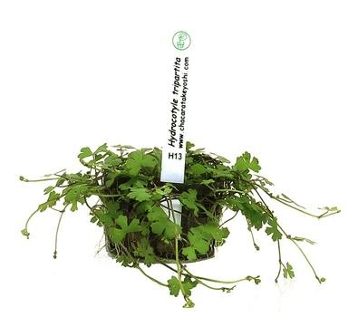 Planta Hydrocotyle tripartita (Mini)