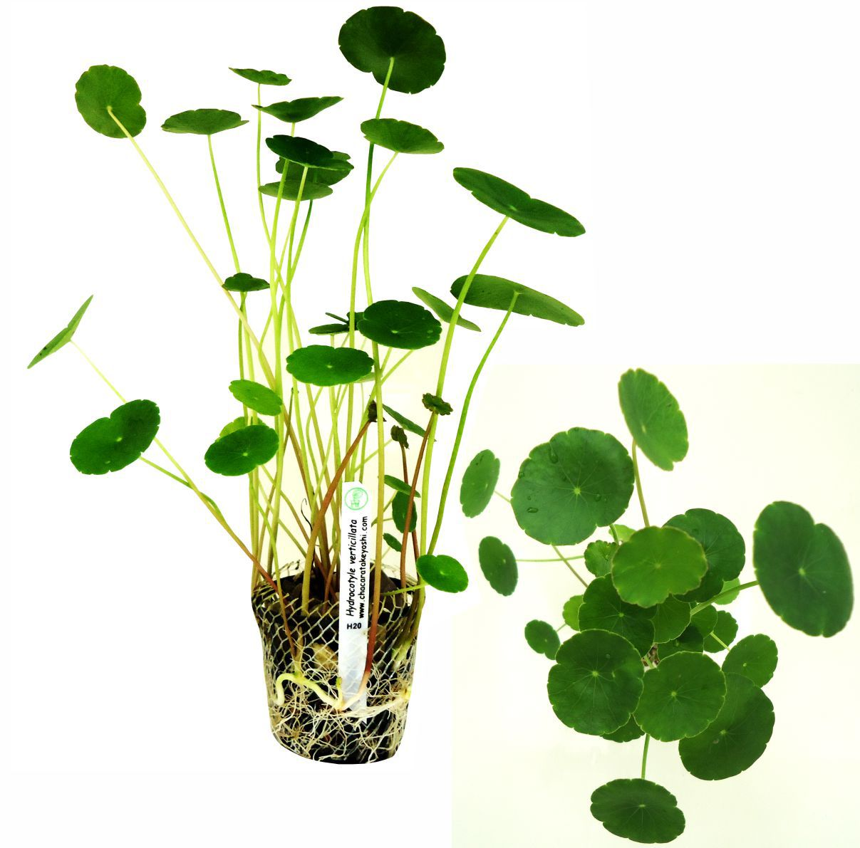 Planta Hydrocotyle verticillata
