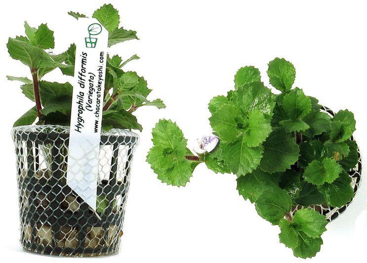 Planta Hygrophila difformis (Variegata)