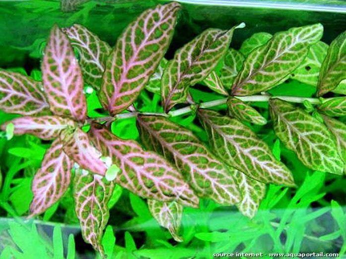 Planta Hygrophila polisperma rosanervig