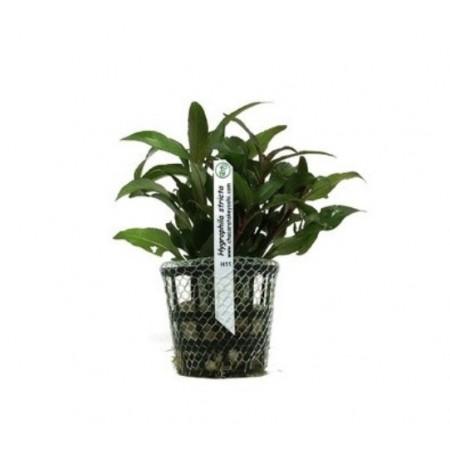 Planta Hygrophila stricta