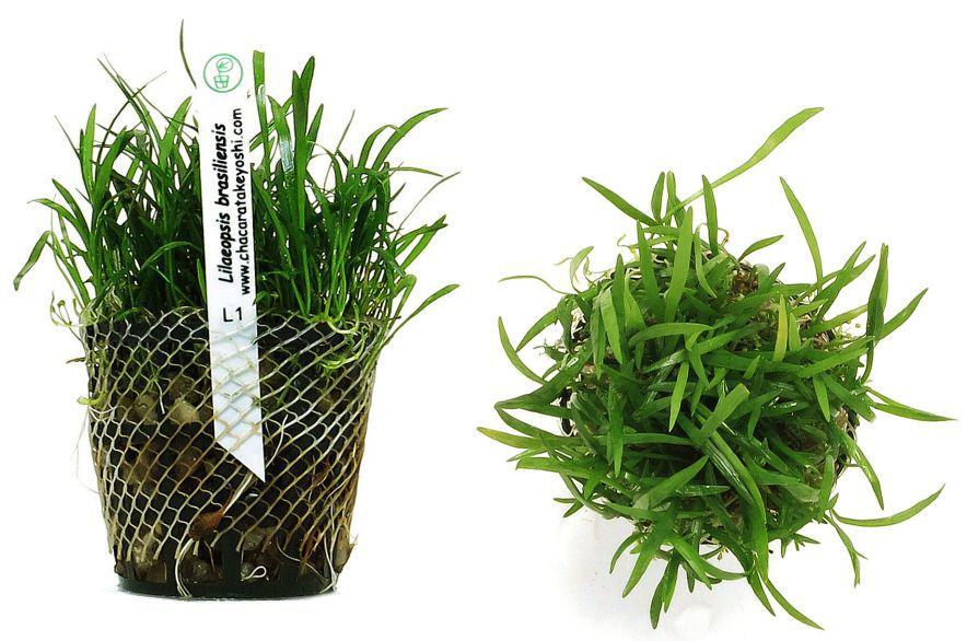 Planta Lilaeopsis brasiliensis