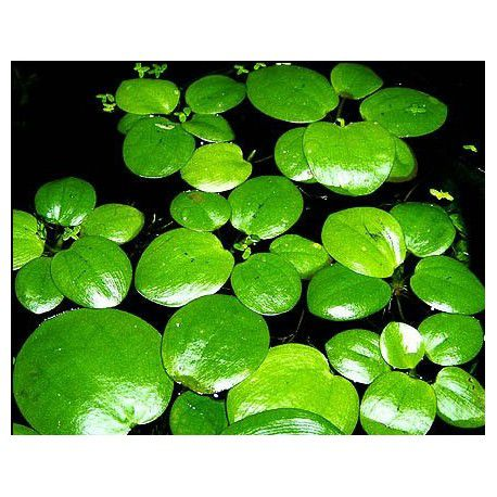 Planta Limnobium laevigatum