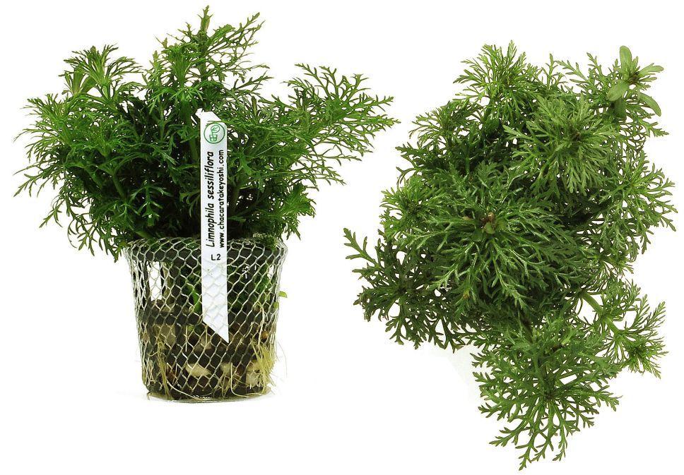 Planta Limnophila sessiliflora (Pinheirinho)