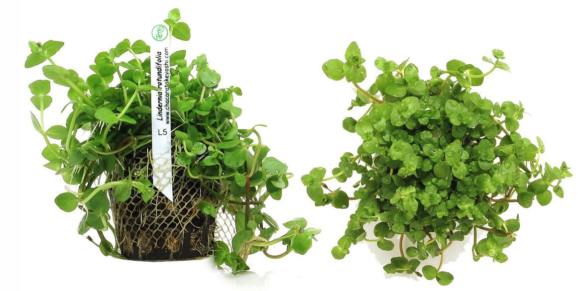 Planta Lindernia rotundifolia