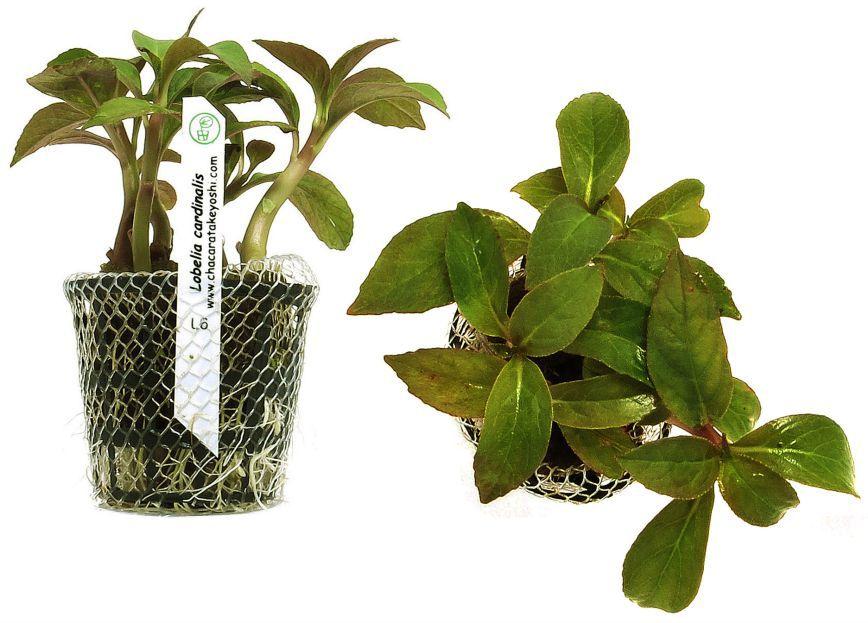 Planta Lobelia cardinalis