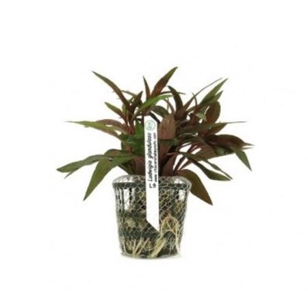 Planta Ludwigia glandulosa