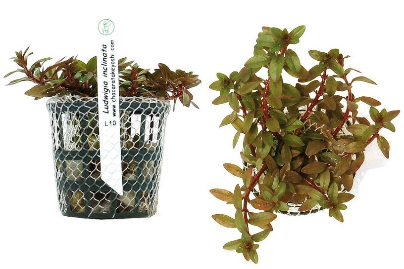Planta Ludwigia inclinata