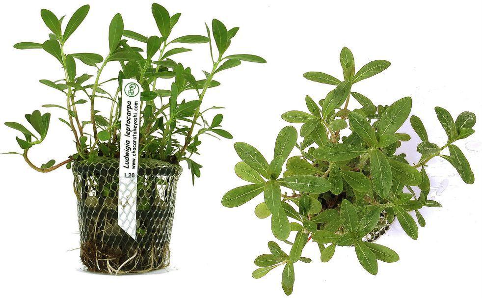 Planta Ludwigia leptocarpa