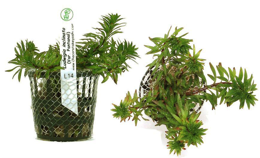 Planta Ludwigia sp. (Pantanal)