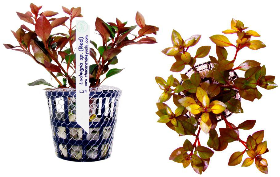 Planta Ludwigia sp. (Red)