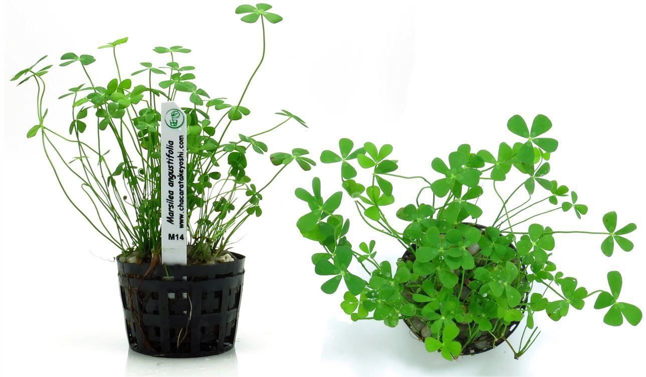 Planta Marsilea angustifolia