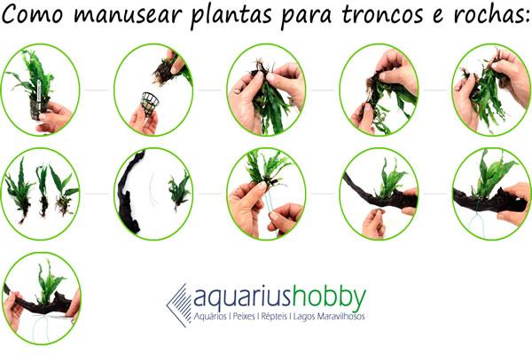 Planta Microsorium pteropus
