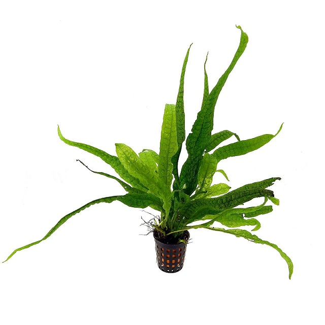 Planta Microsorium pteropus (Philippine)