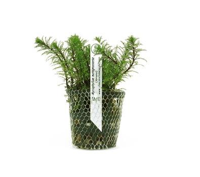 Planta Myriophyllum matogrossense (Amano)