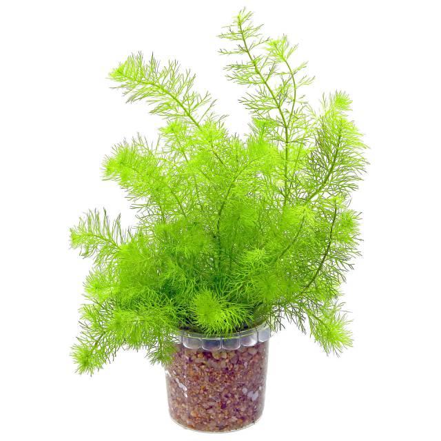 Planta Myriophyllum sp Guinea