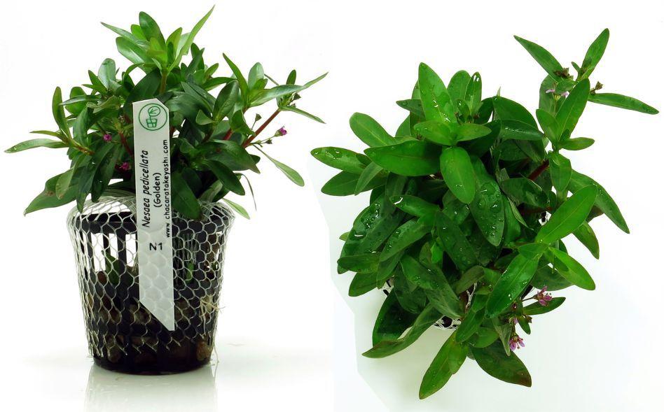 Planta Nesaea pedicellata
