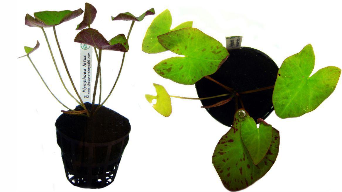 Planta Nymphaea lotus (Zenkeri)