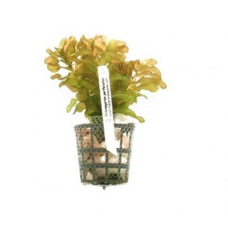 Planta Potamogeton perfoliatus