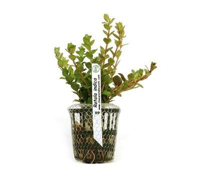 Planta Rotala indica